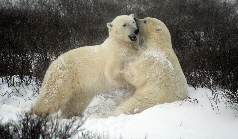 sparing-polar-bears-2821903_1920