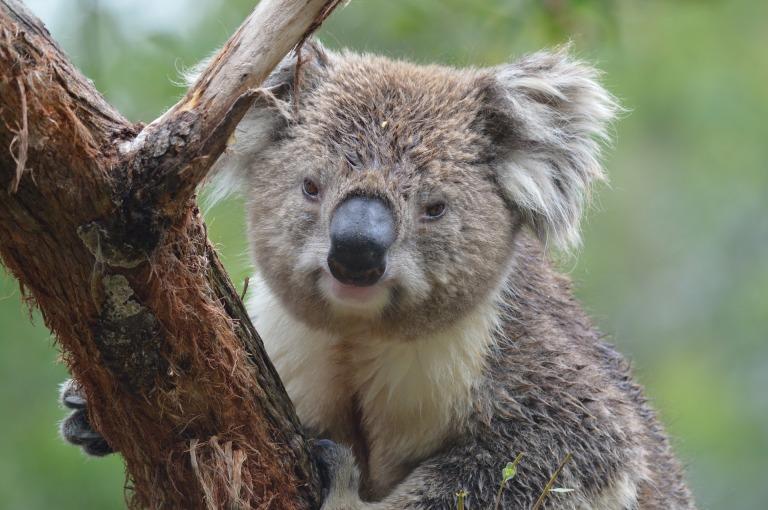 koala-3290826_1920
