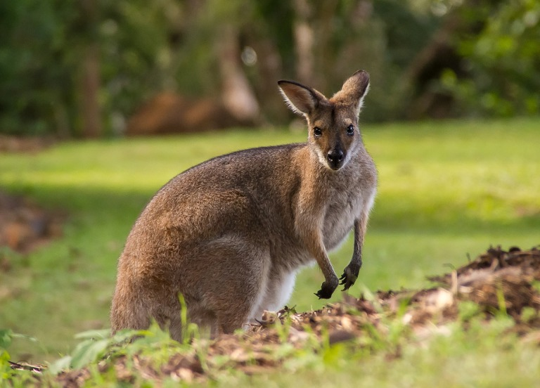 wallaby-2454033_1920