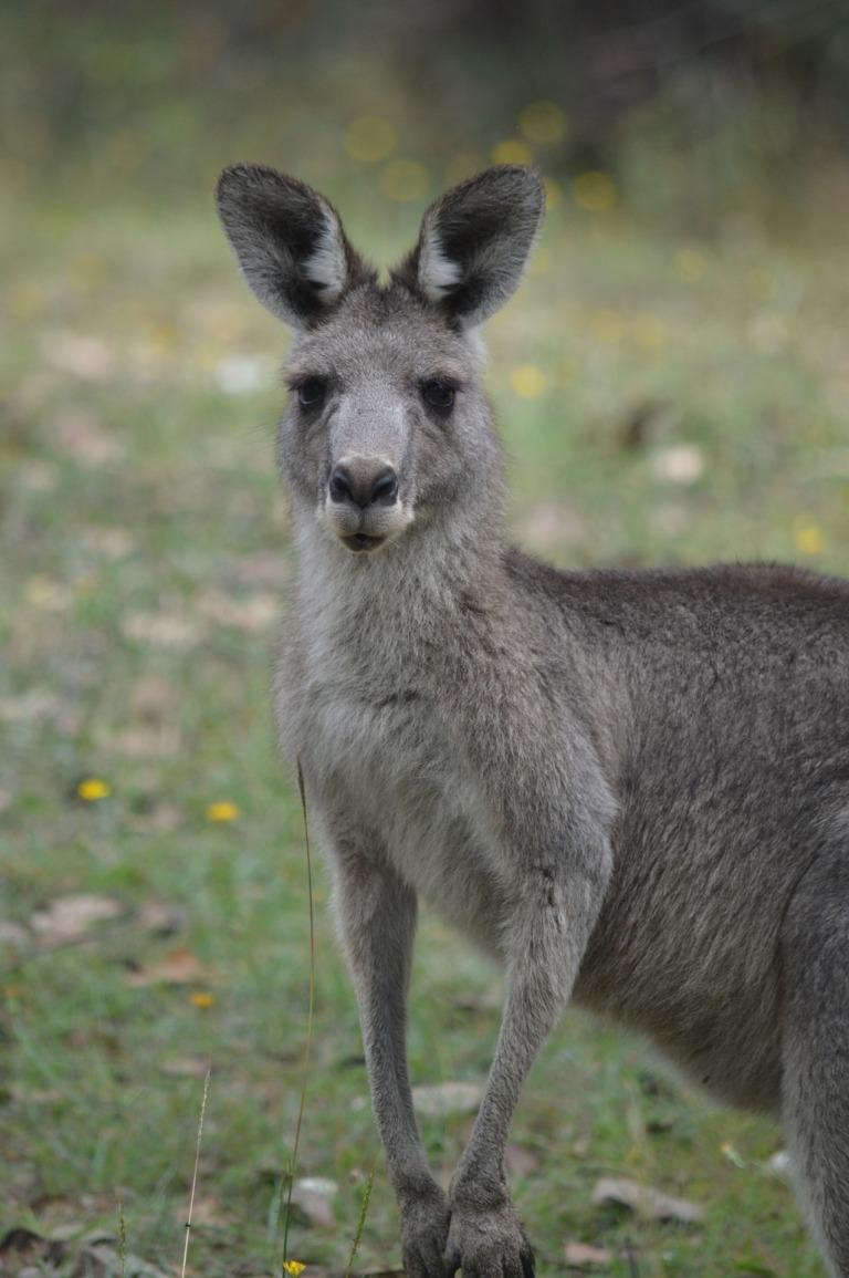 kangaroo-3290805_1920