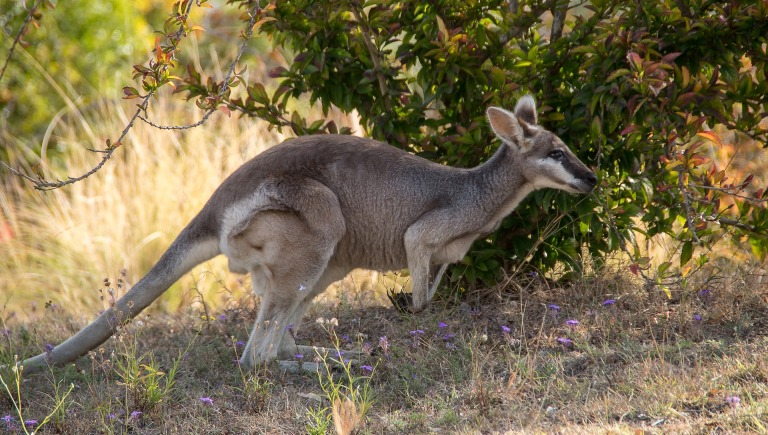 whiptail-wallaby-2874522_1920