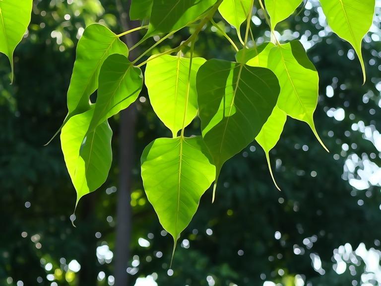 bodhi-leaf-1583102_1920