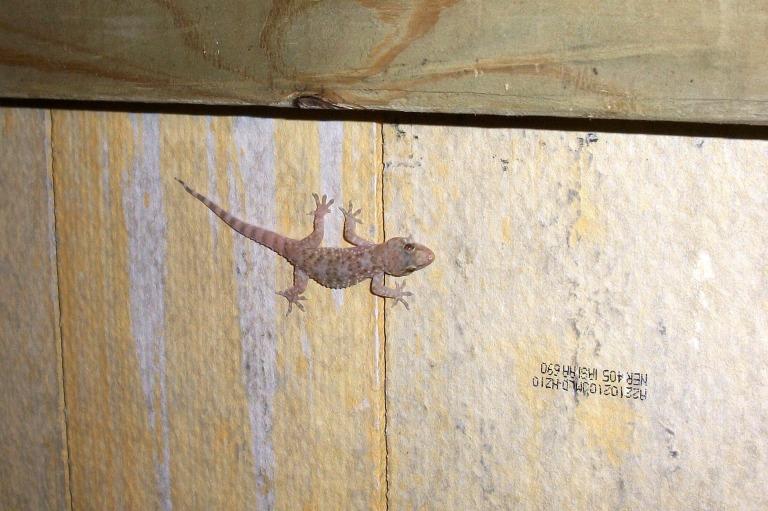 gecko-244_1920