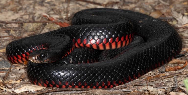 Redbellyblacksnake
