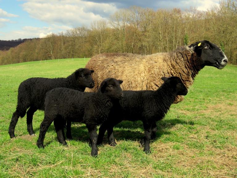 sheep-1605598_1920