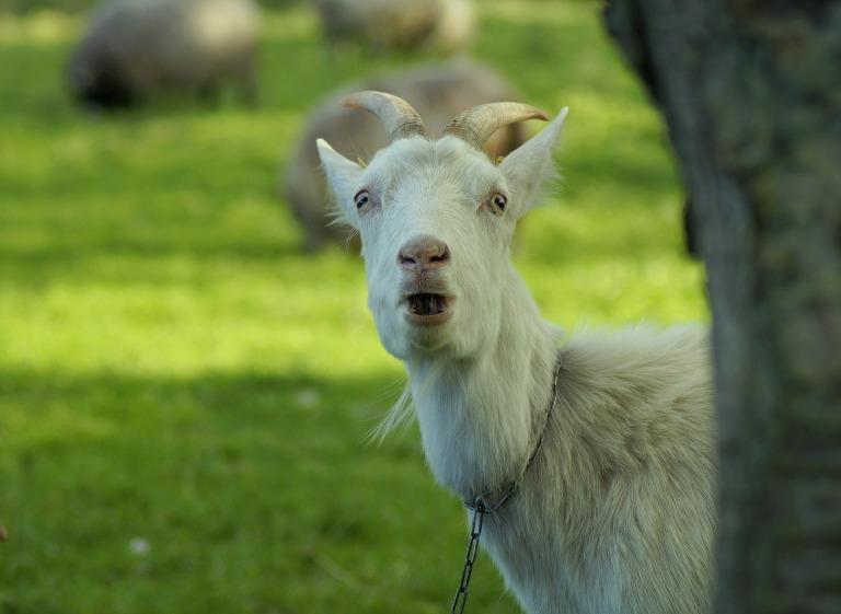 goat-4269362_1920