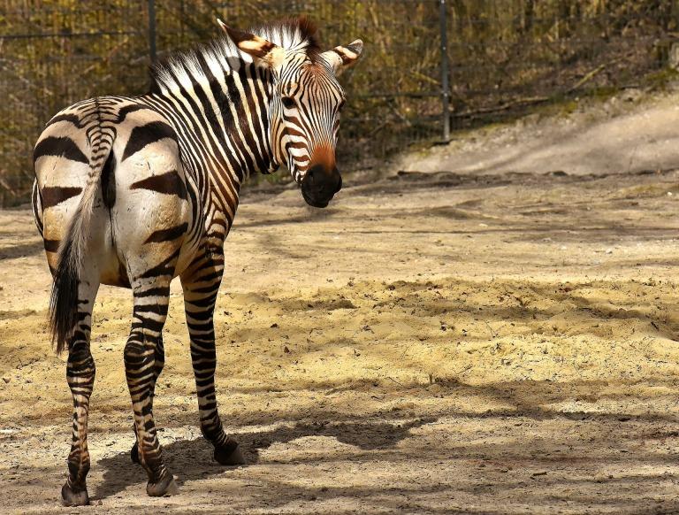 zebras-3316548_1920