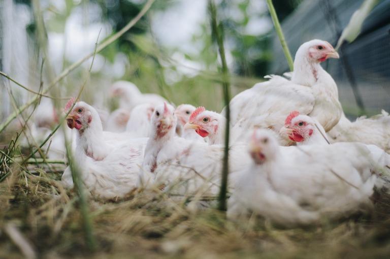 chicken-4474176_1920