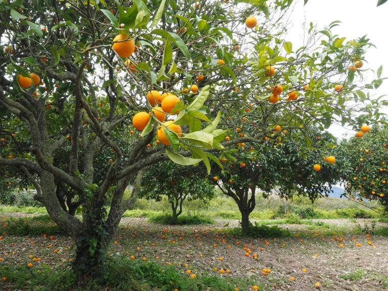 orange-tree-1117420_1920