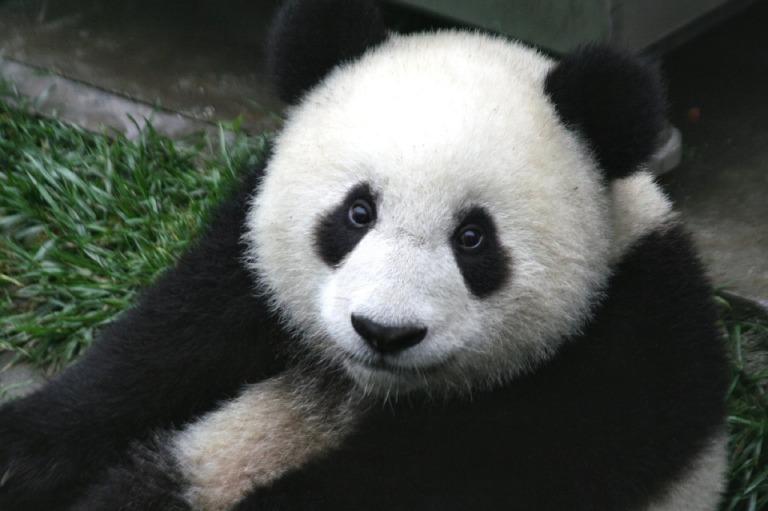 panda-649938_1280