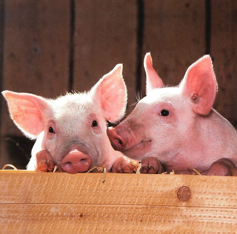 pigs-1507208_1280