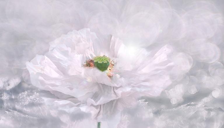 poppy-3054856_1920