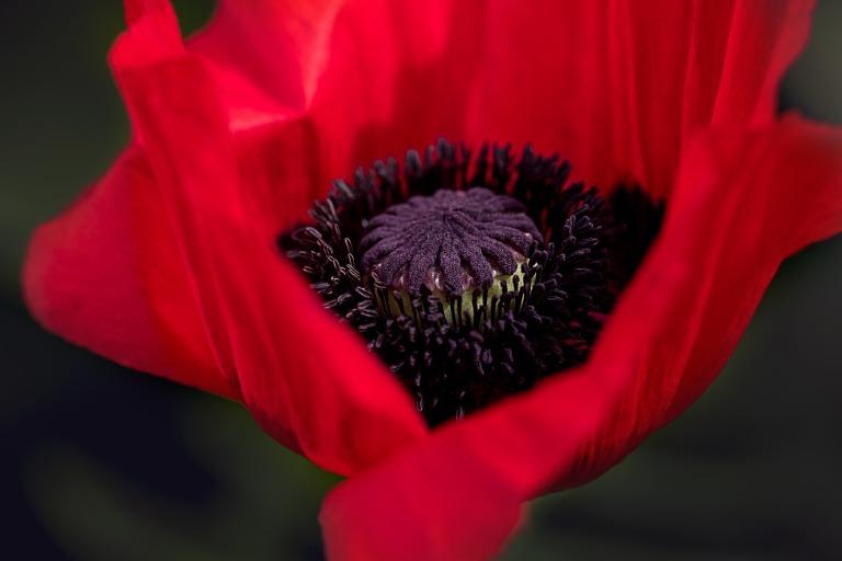poppy-834203_1920