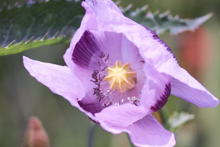 poppy-flower-4267578_1920